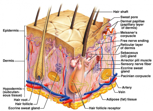 anatomy chapter 5 Chapter 5  the epidermis of thick skin has five layers: stratum basale, stratum  spinosum, stratum granulosum, stratum lucidum, and stratum corneum.